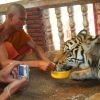 product - Tour Tiger Temple morning program